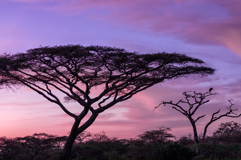 Sunrise in Ndutu, with a Mariposa Stork in one of the trees.