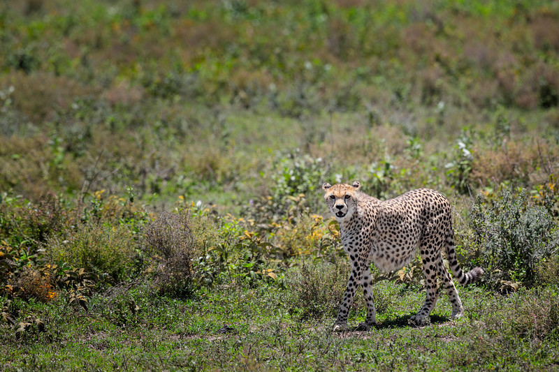 Cheetah, Ndutu