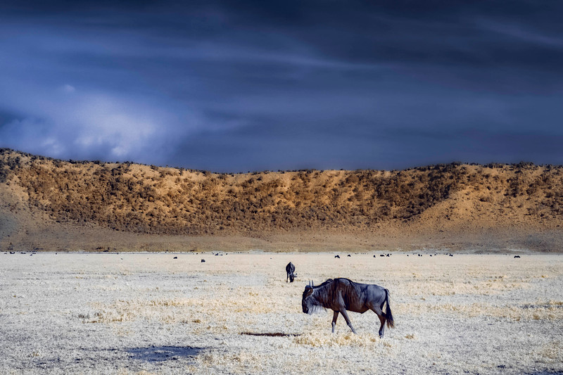 Wildebeest in Ngorongoro crater, faux-color infrared