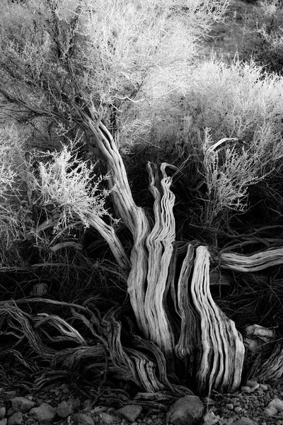 Blown over tree, Infrared.