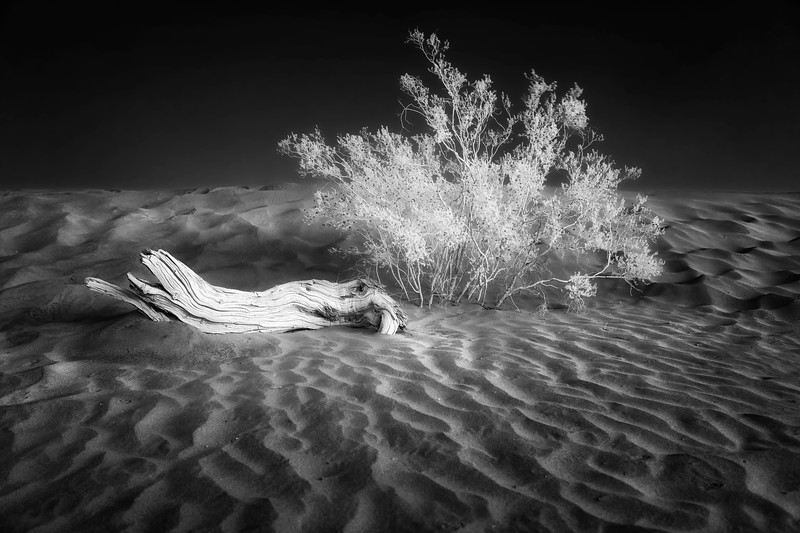 Dead Tree and Bush, Mesquite Sand Dunes,  Infrared