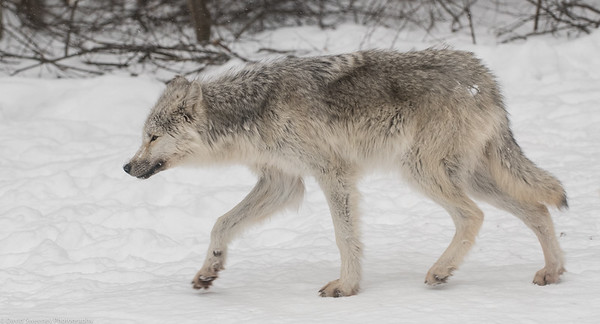 Haliburton Forest 2018 Wolves
