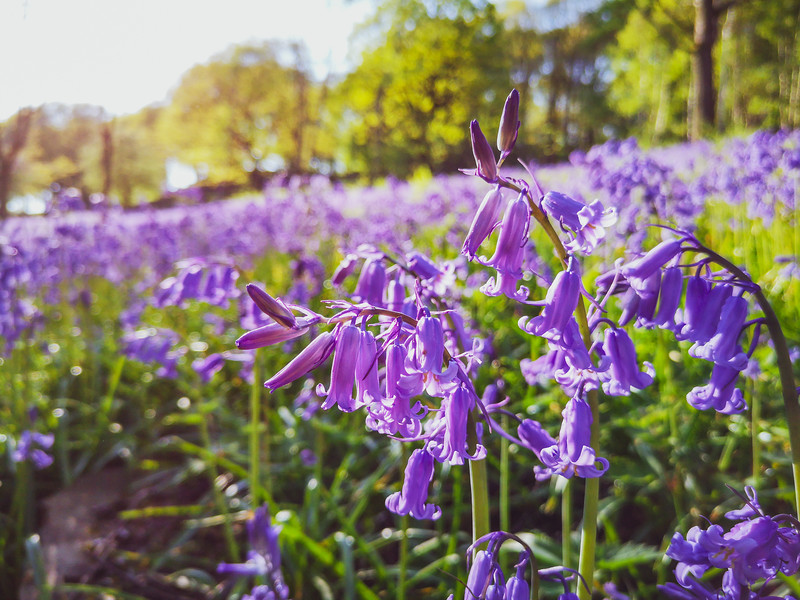 Bluebells at Brookfoot