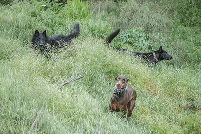 03 30 2016 CREEK DOGS-1593
