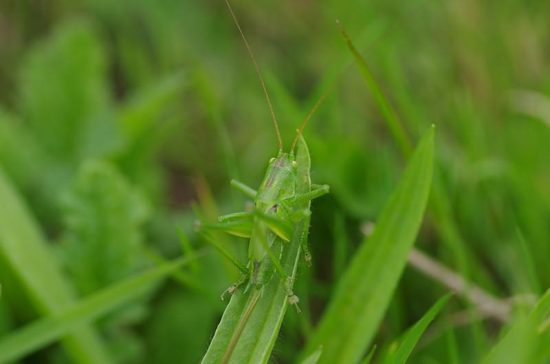 Fotograaf: Michel Evers. Sprinkhaan op een grasspriet.
