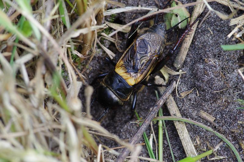 Fotograaf: Michel Evers. Veldkrekel bij zijn habitat.