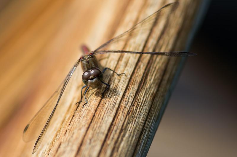 Fotograaf: Michel Evers. Libelle genietend van een herfstzonnetje