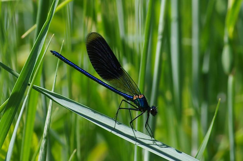 Fotograaf: Michel Evers. Beekjuffer (Calopterygidae)