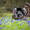 Turkeys in Bluebonnets_20070328_043 Sus