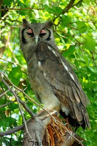 Verreaux's Eagle Owl -- Samburu, Kenya
