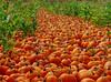 The great pumpkin road ... Arata Farms, Half Moon Bay, California