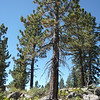 This pine near the top of the east slope made a great antenna support for the center of my 20/40m link dipole.
