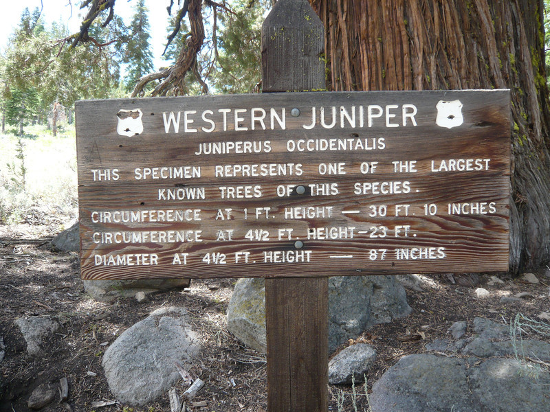 It is one of the largest known western junipers.