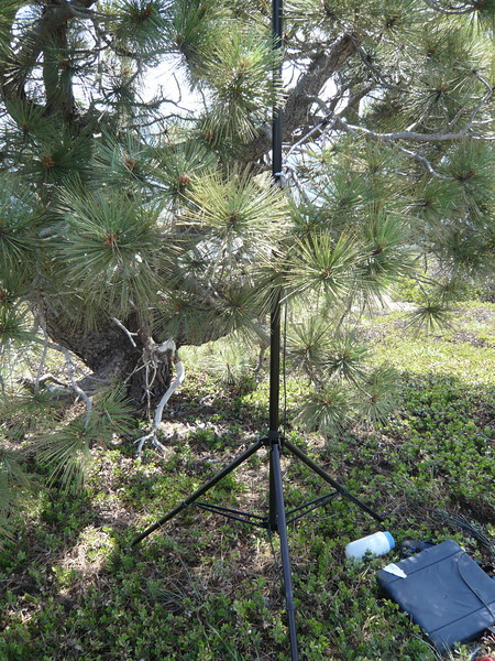 The Buddipole tripod supports the mast, and the mast is lashed to one of the pine tree's branches with a bungee for stability. Since the winds were light and the tree solid, guying was not required.