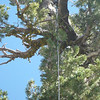 A zoomed in shot of the center of the antenna hanging from the limb with my RG-58 coax hanging down from the center insulator.
