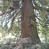 This Western Juniper tree is along Trossi Canyon road and just a few hundred yards from where the previous photo of Land Peak was taken. The coordinates are 39.54771N, 120.1966W.