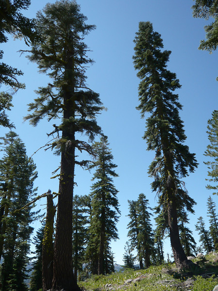 My snag looks puny next to the large fir.