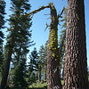 I chose this little snag that is next to a very tall fir tree for my antenna support. The limb at the top is about 20 feet up and unlike a live tree, there are no annoying branches to snag your line or antenna. Because of the steep slope to the left of this photo (towards the east and northeast where I expect most of my contacts to come from) my antenna doesn't need to be very high to be effective.