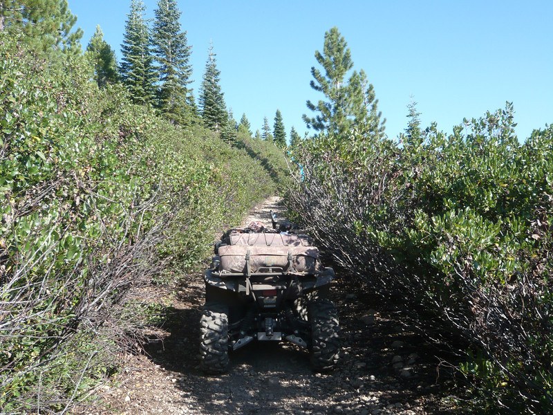 "The Sagehen Hills really should be called the Snowbrush Hills. That blasted plant has taken over all of the lower elevation slopes. What were once wide roads are now just narrow trails that tunnel through the brush. My ATV is only 48"" wide but it was a tight fit in some of the areas that are actually worse than what is shown here. If you care at all about your vehicle's paint, don't take this OHV route up into the hills. Don't worry, there is a longer but much easier vehicle route available that doesn't pit you against the brush. See my <a href=""http://www.grizzlyguy.com/HamRadio/SOTA-CarpenterRidge-NS123-2013"">Carpenter Ridge (W6/NS-123) SOTA Activation 7/23/2013</a> album and my <a href=""http://www.grizzlyguy.com/HamRadio/SOTA-SagehenHills-W6NS193-2013"">Sagehen Hills (W6/NS-193) SOTA Activation 8/13/2013</a> album for more information on the easier route."