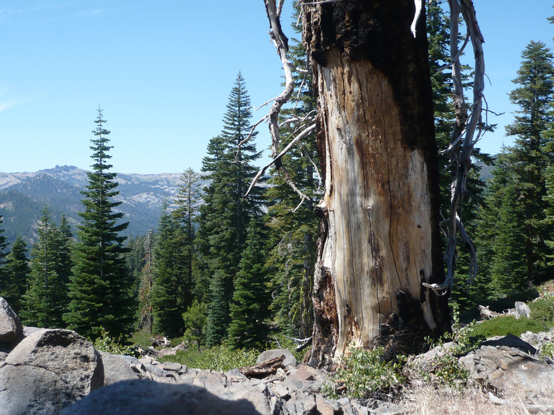 The burn scars clearly show that the Devil's Trident tree met it's fate when a powerful bolt from the heavens above crashed down upon it.