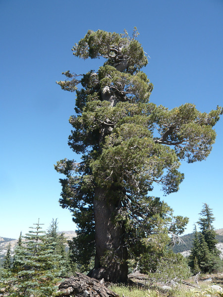 Here is another one: it was once a tall tree but lost it's top section at some point, most likely due to wind or lightning.