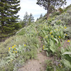 Pacific Crest Trail climbs and switchbacks up the southwest side of the ridge. The yellow flowers are Wooly Mule Ears and the blue ones are lupines.