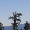 Another shot of the eagle sitting on the left side of the center tree. Now he is checking me out. He must have figured out that I'm a ground-bound hang glider pilot, because as I continued to hike towards him he took off, hooked a boomer and climbed rapidly right over my head. Show off!
