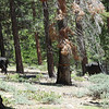 BEARS!! Just kidding, only cattle. I spotted no rustlers in pursuit, and still no sign of Ben, Hoss or Little Joe.