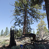 I decided to operate about 50 feet east of the summit rock, maybe 5 vertical feet below it. The pine tree in this shot would have made a fine antenna support, as would some of the others, but using my Jackite pole (in the foreground) to hold up the center of my 88' doublet allowed me to plop down right in the midst of some dense shade. I love shade. Shade is good. Did I tell you I love shade? Yeah, I guess I did just tell you that I love shade. Shade baby, shade! ;-)
