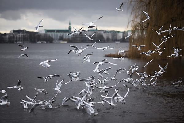 Möwen auf der Außenalster Hamburg im Winter