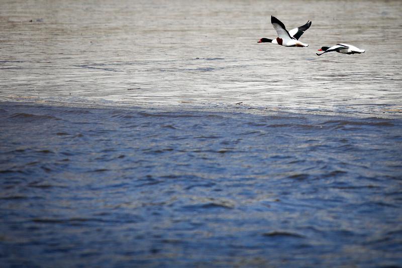 2 Brandgänse fliegen über die Elbe