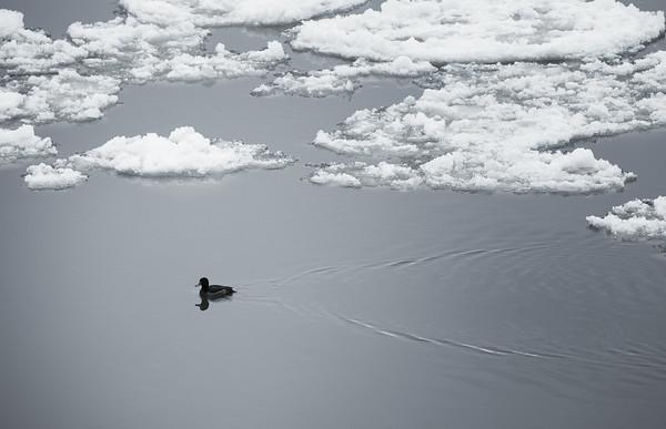 Ente auf der Elbe mit Eisschollen in Hamburg im Winter am Tag