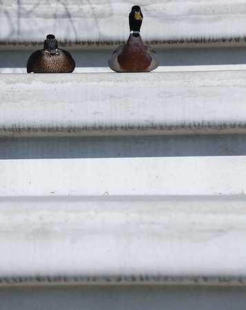 Ente und Erpel  auf einer Treppe im Hamburg im Sonnenschein