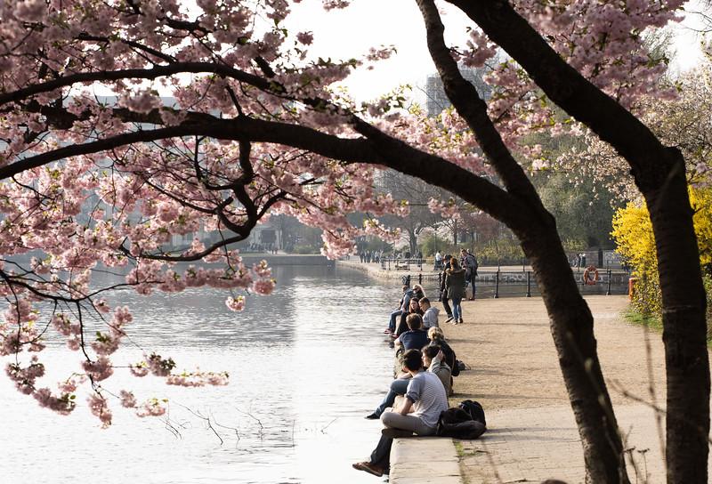 Blühende Kirschbäume an der Binnenalster Hamburg mit Menschen