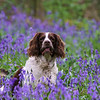 Bluebell Hamish at Compton Dando 26/4/18
