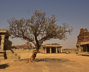 Old Frangipani tree