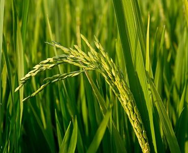 Rice, a staple.