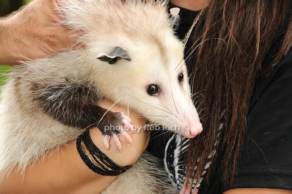 Marci (Opossum)<br /> photo by Rob Rich © 2010 robwayne1@aol.com 516-676-3939
