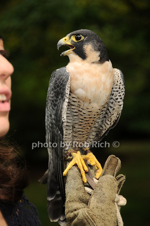 Striker (Perrigrin Falcon)<br /> photo by Rob Rich © 2010 robwayne1@aol.com 516-676-3939