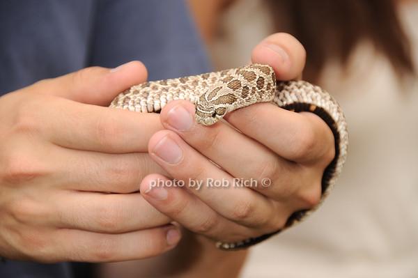 Western Hognose Snake<br /> photo by Rob Rich © 2010 robwayne1@aol.com 516-676-3939