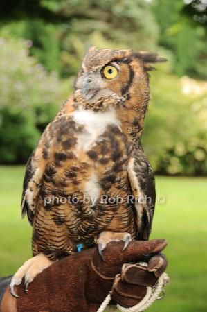 Kilalla (Great Horned Owl)<br /> photo by Rob Rich © 2010 robwayne1@aol.com 516-676-3939