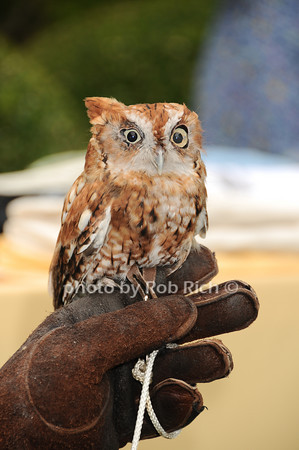 Screech Owl<br /> photo by Rob Rich © 2010 robwayne1@aol.com 516-676-3939