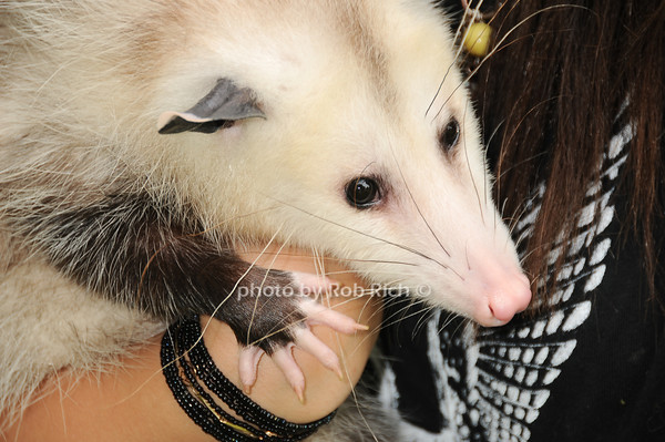 Marci (Opossum)<br /> photo by Rob Rich © 2010 robwayne1@aol.com 516-676-3939