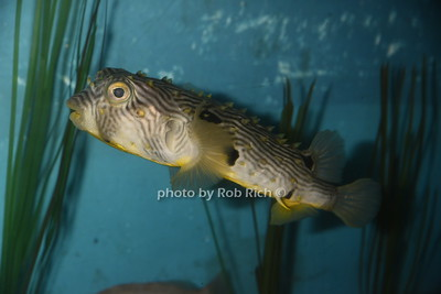 puffer fish photo by Rob Rich/SocietyAllure.com © 2016 robwayne1@aol.com 516-676-3939