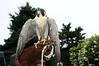 Peregrine Falcon<br /> photo by Rob Rich © 2009 robwayne1@aol.com 516-676-3939