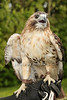 Sonia the Adult female Redtail Hawk<br /> photo by Rob Rich © 2013 robwayne1@aol.com 516-676-3939