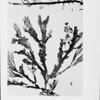 Marine red algae of Pacific Mexico. pt. 7. Ceramiales: Ceramiaceae, Delesseriaceae