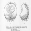 A remarkable new genus of sea-urchin (Spatangidae)