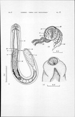 Three new trematodes from the Galapagos marine iguana Amblyrhynchus cristatus