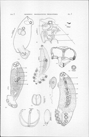 Some monogenetic trematodes from the Galapagos Islands and the neighboring Pacific